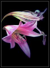 Vergänglichkeit einer Lilie