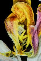 Vergänglichkeit einer Tulpe