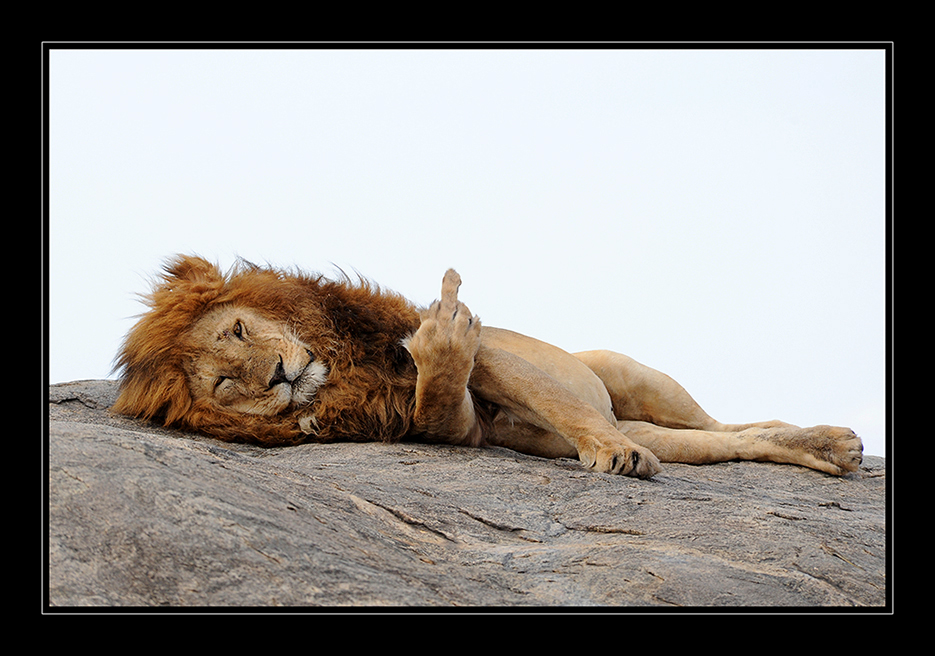 Vergeblich ist's den Leu zu wecken….