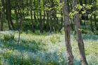 Vergiss-mein-nicht-Wald
