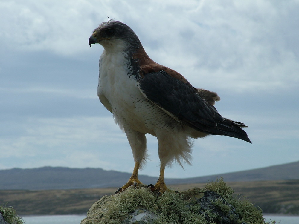 Veriable Hawk.