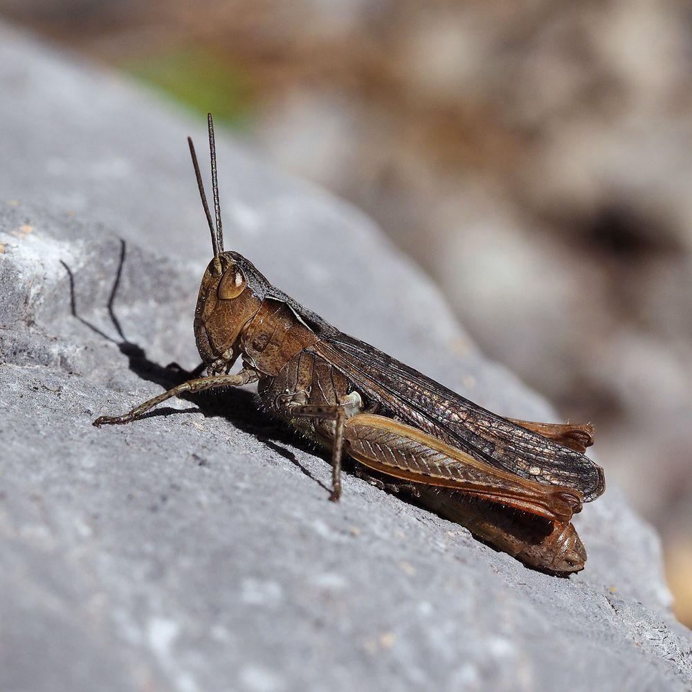 Verkannter Grashüpfer (Chorthippus mollis)