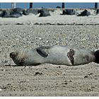 Verletzungen an einem Seehund ...