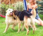 verliebte Hunde