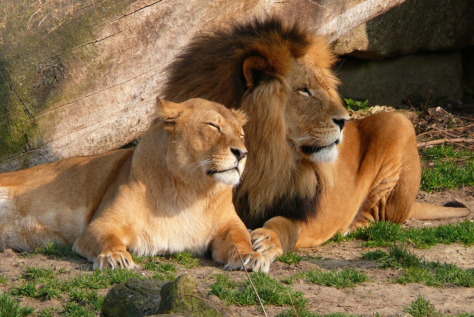 verliebtes Löwenpaar