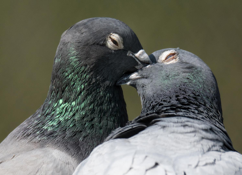 """ Verliebtes Taubenpaar"""