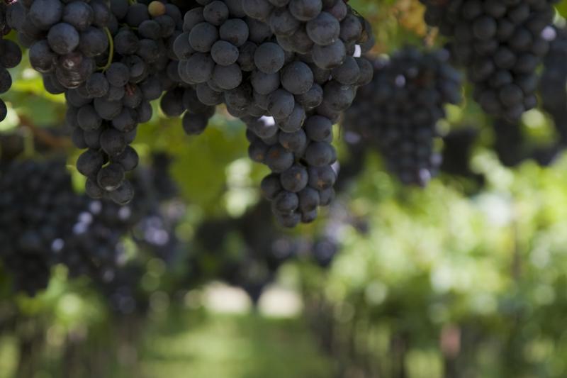 Vernatsch-Trauben in Südtiroler Weingrarten