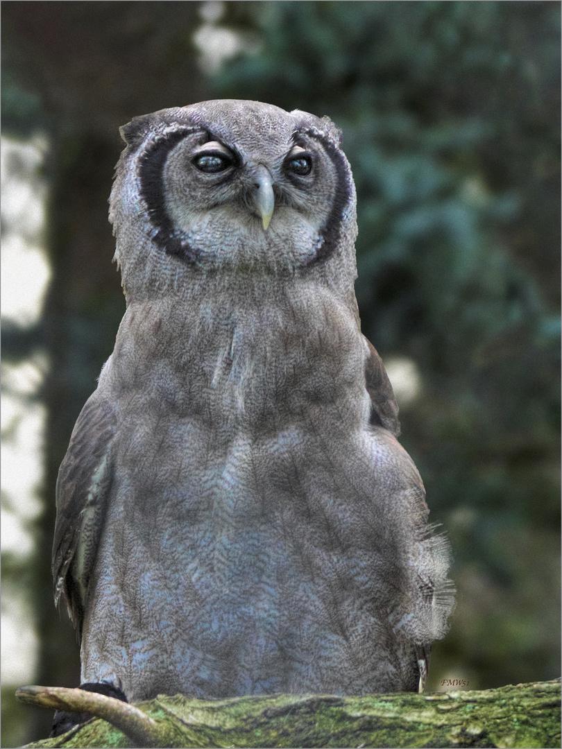 Verreaux's eagle-owl portrait