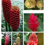 verschiedene Ingwer-Arten aus Costa Rica