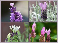 Verschiedene Sorten und Details von Lavendel