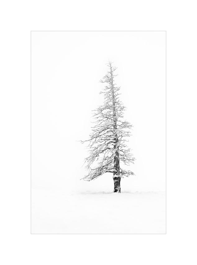 verschneiter Baum im Nebel