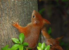 Verspielte Eichhörnchen