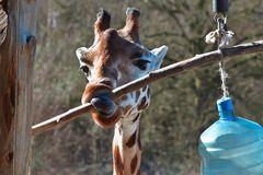 Verspielte Giraffe