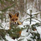 Versteck vom Fuchs im Winter