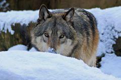 Verstecken spielen im Schnee...