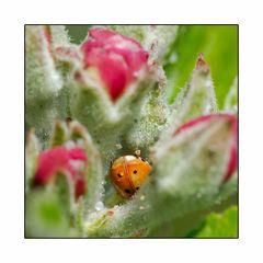 Versteckspiel in der Apfelblüte ...