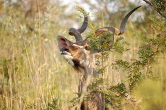 versteckt im Kruger NP