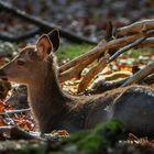 Versteckt im Unterholz: SIKANACHWUCHS