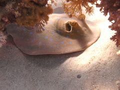 Versteckt unter Korallen
