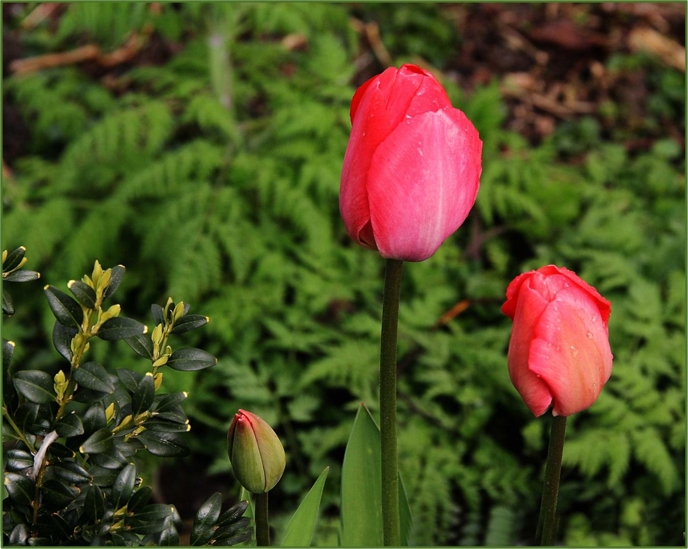 versteckte Tulpen am Wegesrand ...