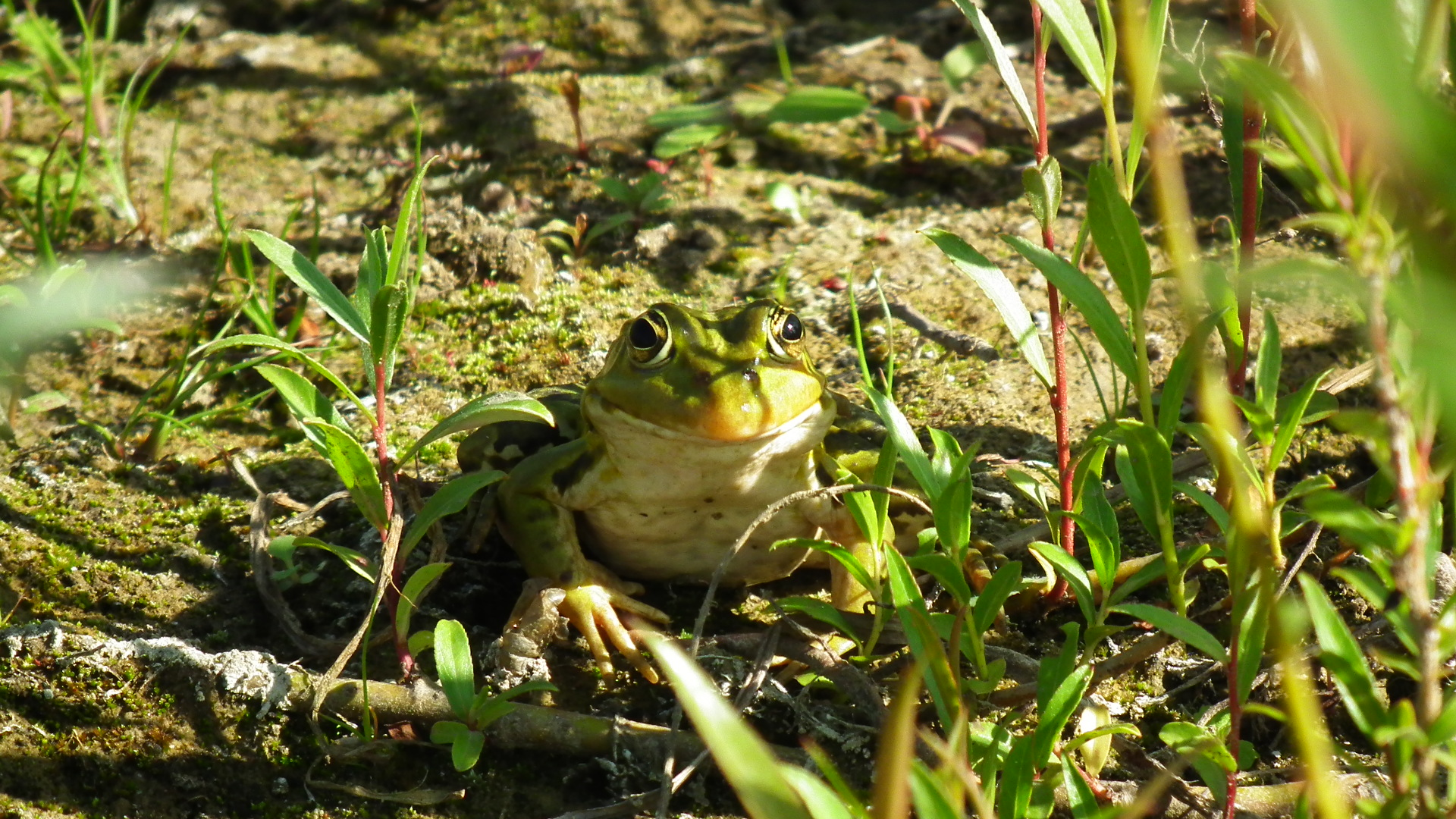 versteckter Frosch