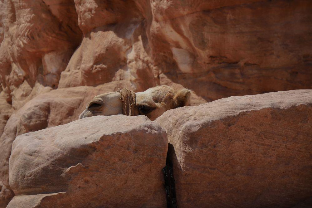 Verstecktes Kamel