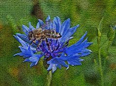 Versuch Biene in Kornblume