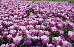 Versunken in Lila Tulpen!
