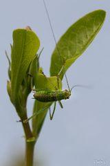 Vert Cricket