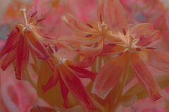 Verträumte Tulpen