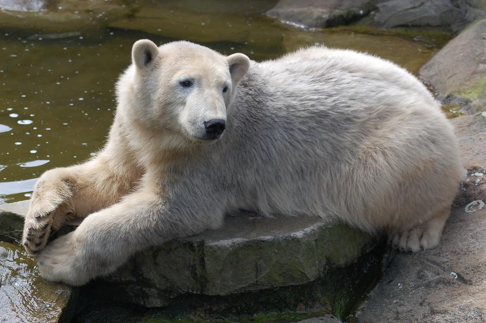 Verträumter Knut