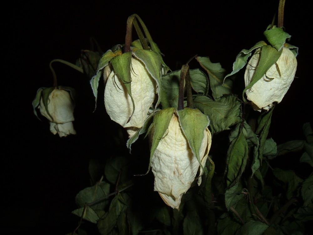 Vertrocknete weiße Rosen