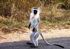 <Vervet Monkey>