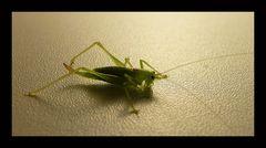 Verwantenbesuch einer südlichen Eichenschrecke !