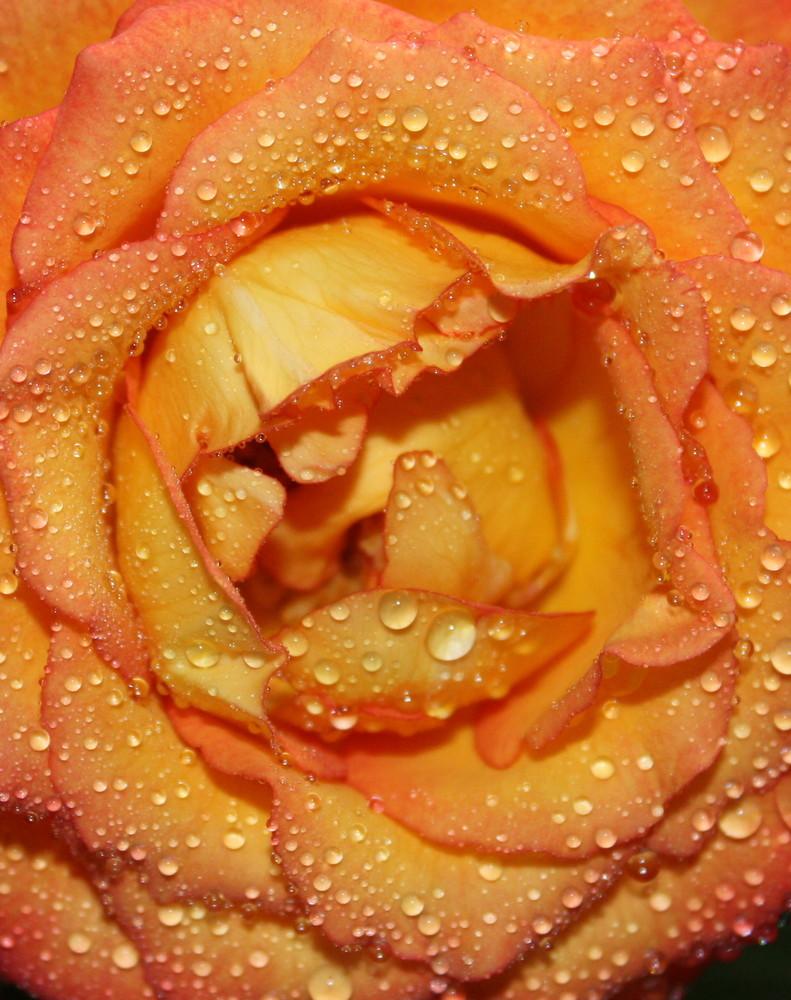 verwelkte, aber schöne Rose