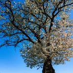 Verwilderter Kirschbaum
