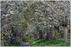 Verwirrend schön... von tausenden Kirschblüten umfangen - allein...