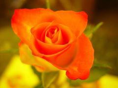 Verzauberte Rose