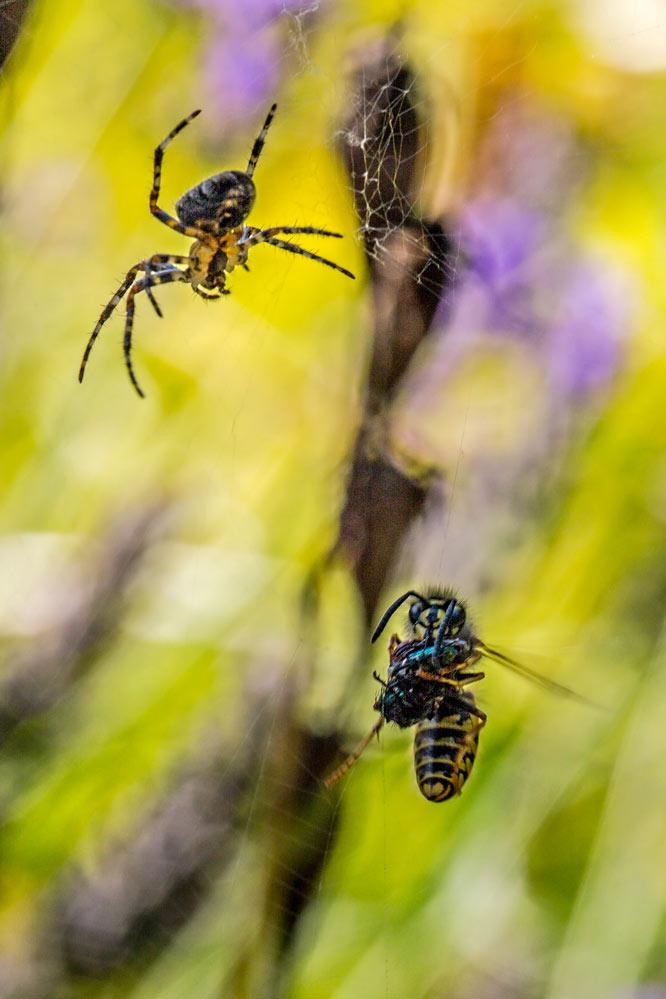Vespula vulgaris + Araneus diadematus (2/2)