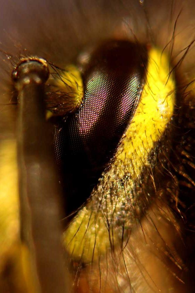 Vespula vulgaris - Auge - Mikroskopaufnahme