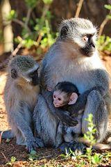 Vevet Monkey