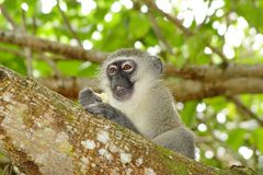 Vevet Monkey in seinem Element