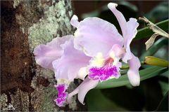 Viñales - Orchidée