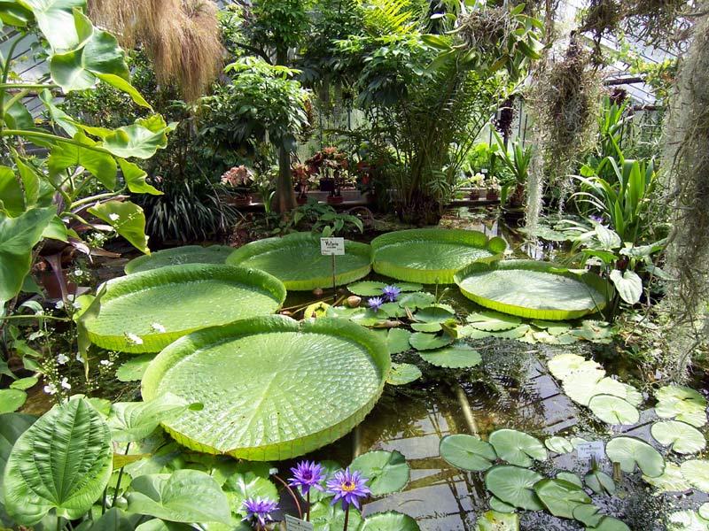 Victoria Cruziana Foto Bild Pflanzen Pilze Flechten Blüten