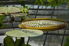 Victoria-Seerose im Botanischen Garten
