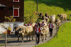 Viehschau 2010  die Ankunft
