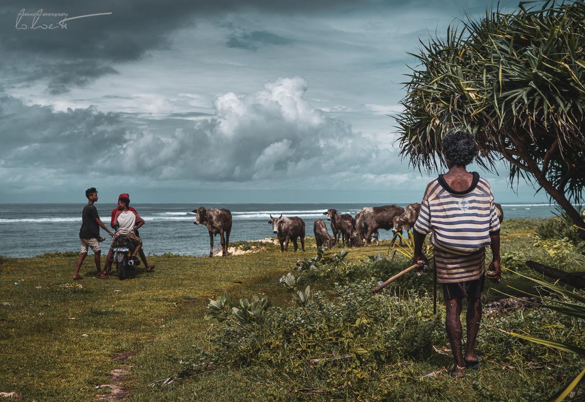 Viehtrieb zur Laut ~ Sumba Barat