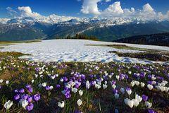 Viel Schnee im Krokusfeld