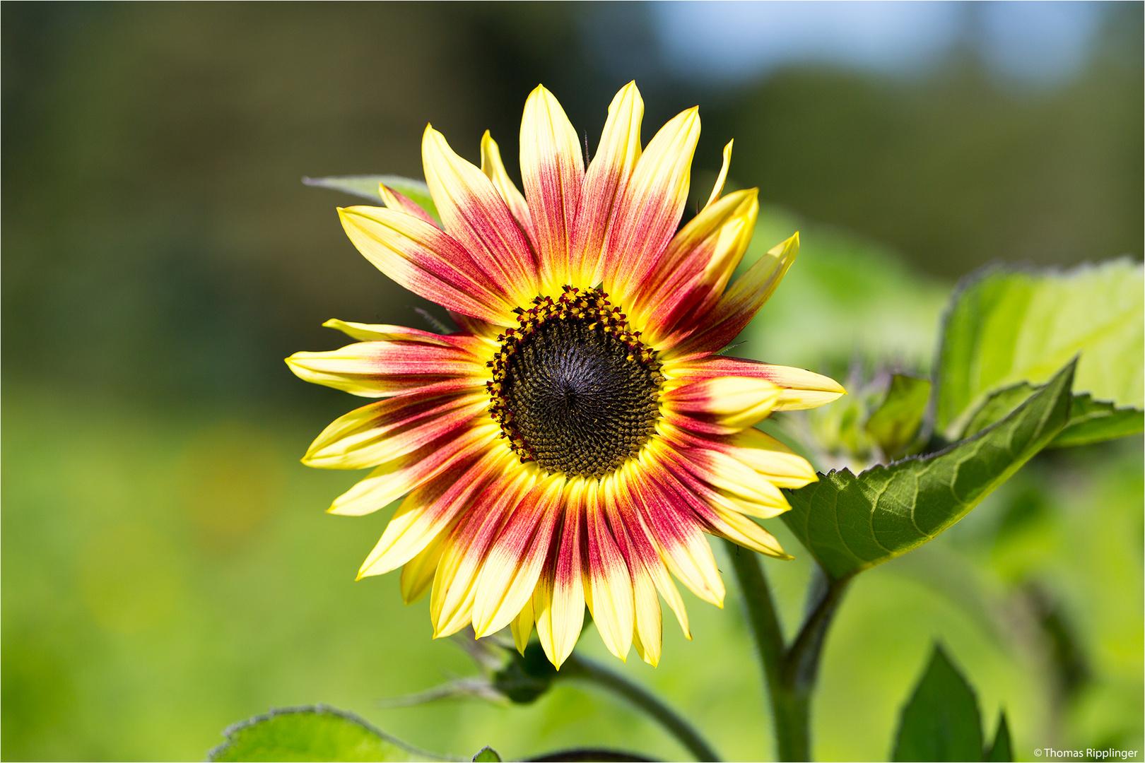 Vielblütige Sonnenblume (Helianthus multiflorus). .