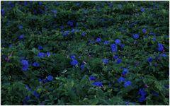 viele blaue Blümchen...